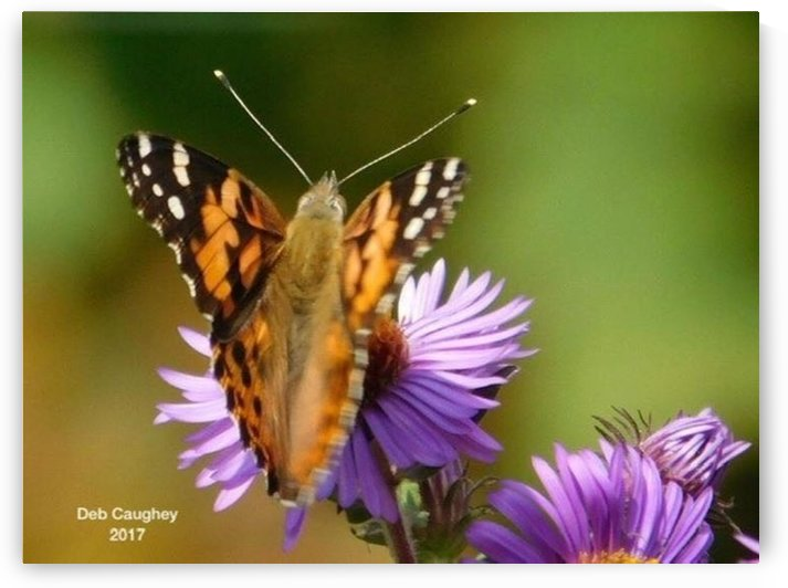 Painted Lady  by Debbie Caughey