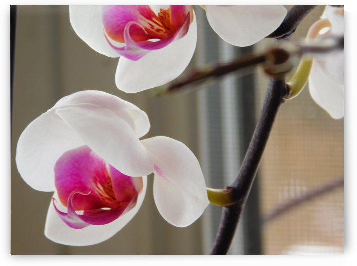 Winter Orchids  by Debbie Caughey