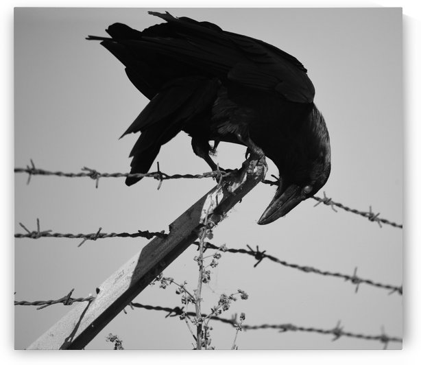 Barbed Wire Raven by H Hart Photography