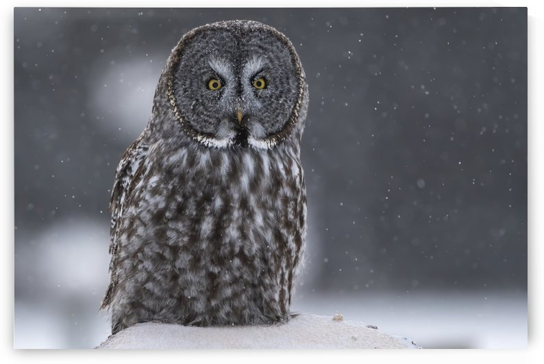 Great Grey Owl - Hunting at Sunset Alberta Canada by Ken Anderson Photography