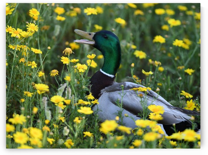 Mallard in the Spring by H.Hart Photography