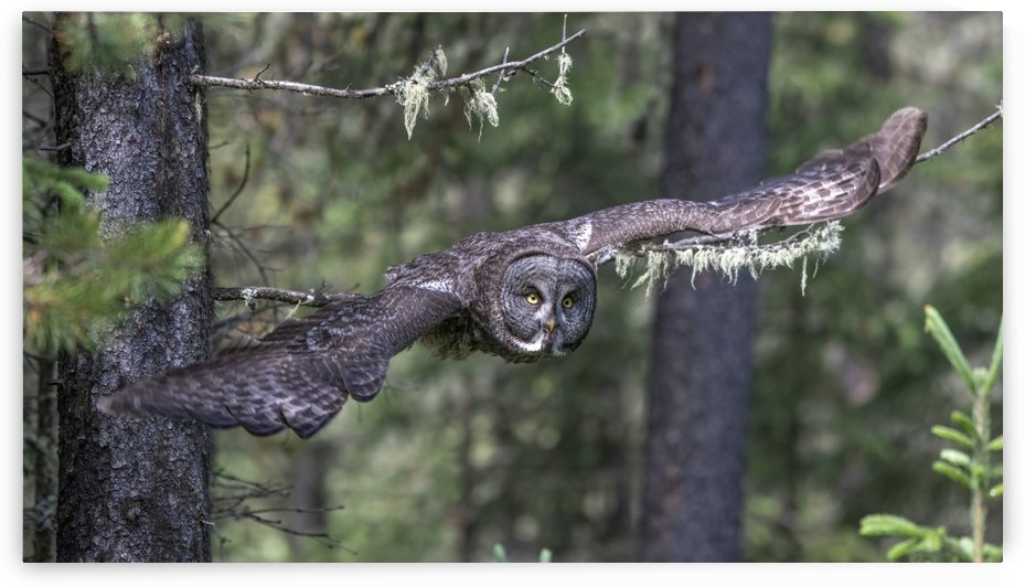 Great Grey Owl - Wing Span by Ken Anderson Photography