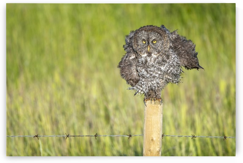 Great Grey Owl - Shaking It Out by Ken Anderson Photography