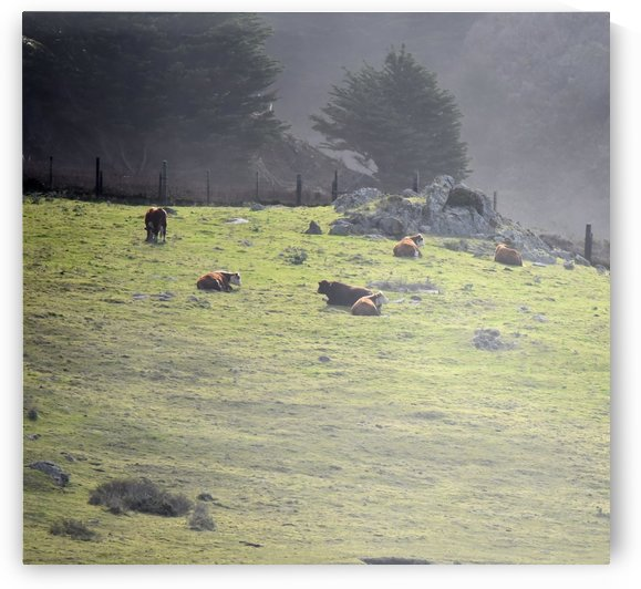 Cows in the Mist by H.Hart Photography