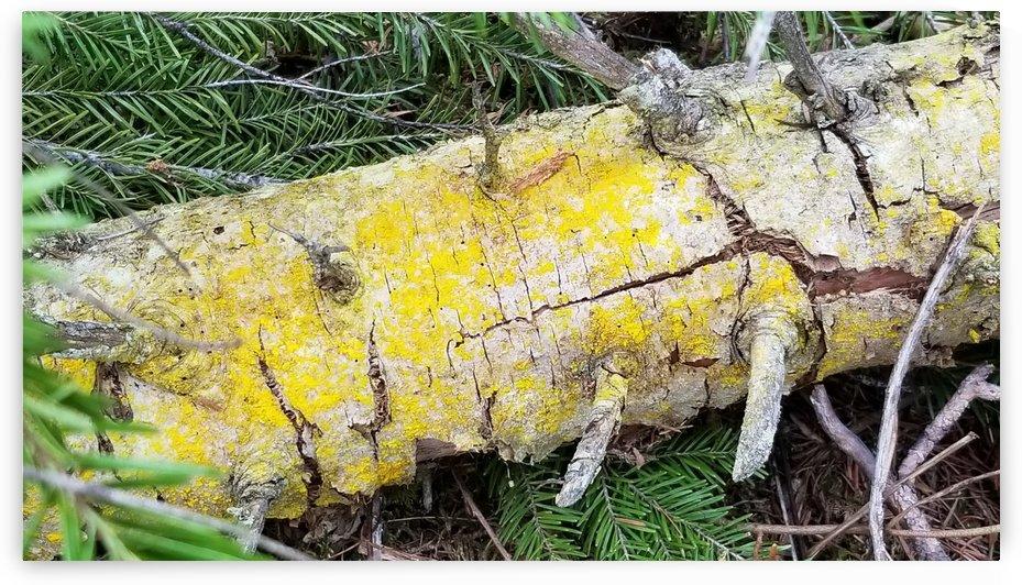 Yellow Lichen on White Fallen Tree by Creative Endeavors - Steven Oscherwitz