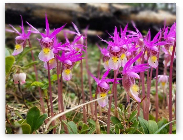 Calypso Orchids near Jasper Alberta by Creative Endeavors - Steven Oscherwitz