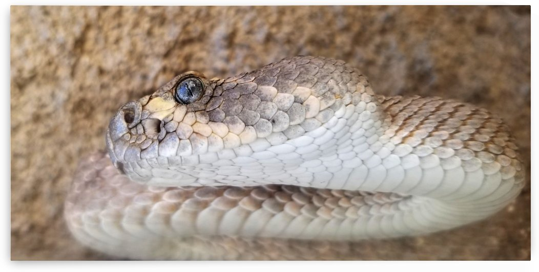 Diamondback Rattlesnake Head  by Creative Endeavors - Steven Oscherwitz