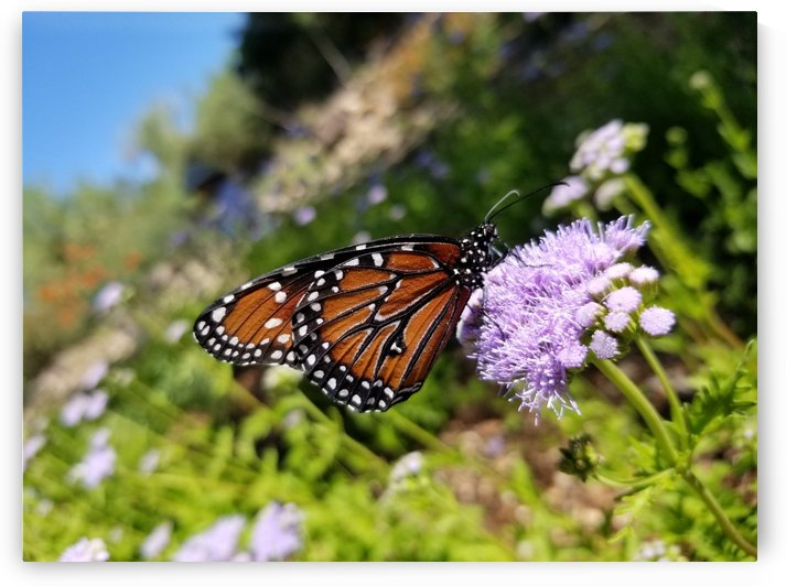 Arizona Queen Butterfly by Creative Endeavors - Steven Oscherwitz