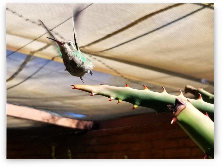 Hummingbird Taking Flight by Creative Endeavors - Steven Oscherwitz