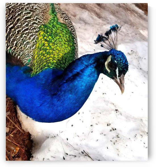 Peacock Head Close-Up by Creative Endeavors - Steven Oscherwitz
