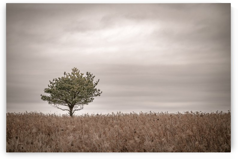Lone Pine by Dan Fleury