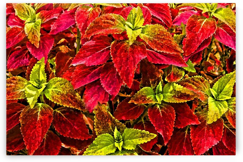 Colorful Coleus by HH Photography of Florida