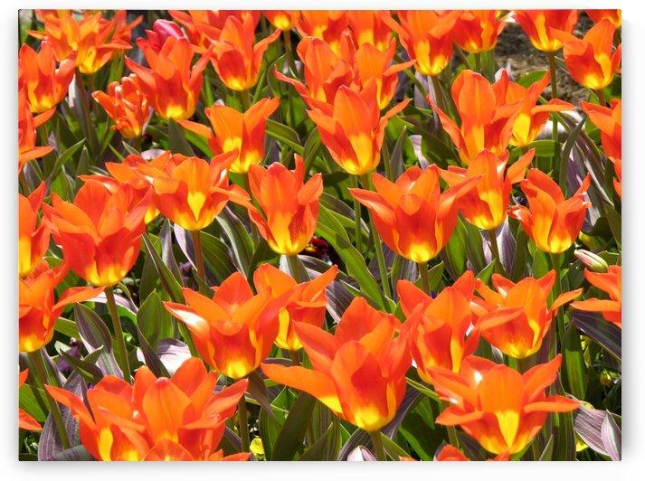 Orange Tulips Photograph by Katherine Lindsey Photography
