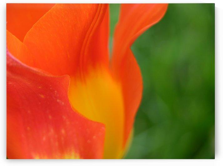 Orange Tulip Art Print by Katherine Lindsey Photography