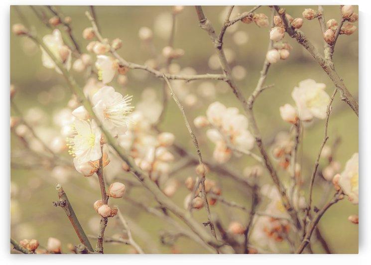 Sakura Flowers, Imperial Palace Park, Tokyo, Japan by Daniel Ferreia Leites Ciccarino