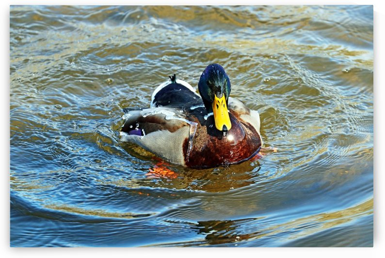 Water Off A Ducks Back I by Deb Oppermann