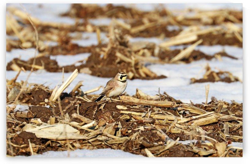 Horned Lark In Winter Corn Field by Deb Oppermann