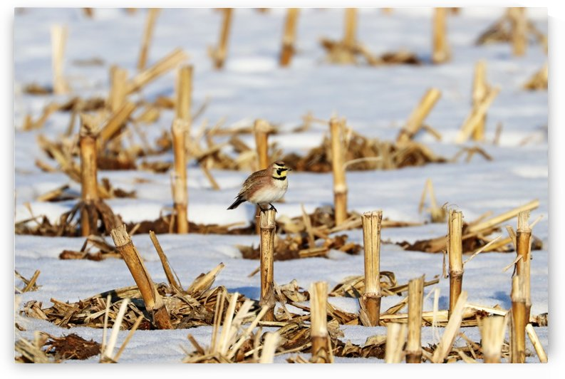 Horned Lark On Corn Stalk Stubble by Deb Oppermann