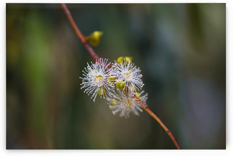 Eucalyptus White Flowers Tiny by Joy Watson