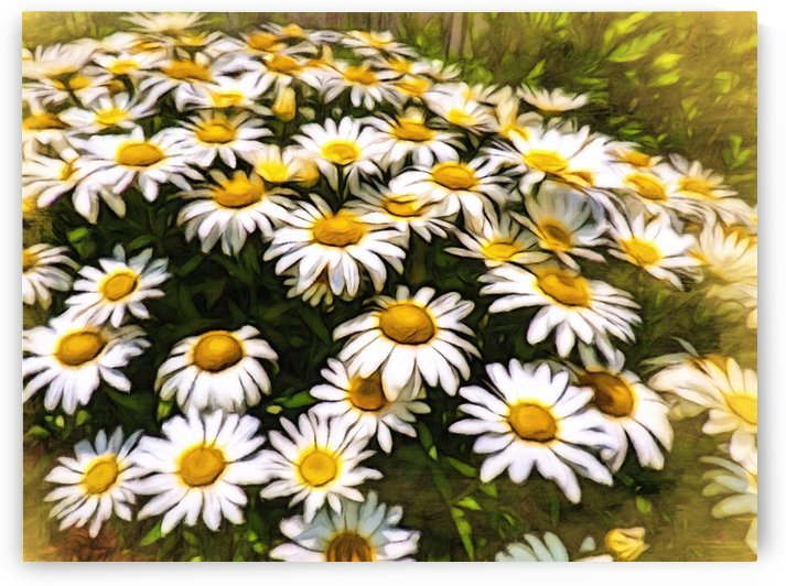 Shasta Daisies Bright Shiny Faces by Leslie Montgomery