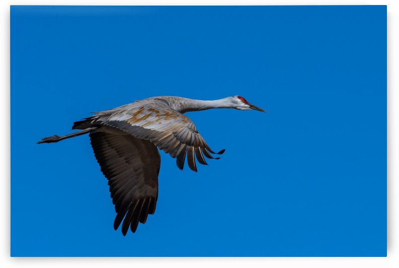 Sandhill Crane With Character by Garald Horst