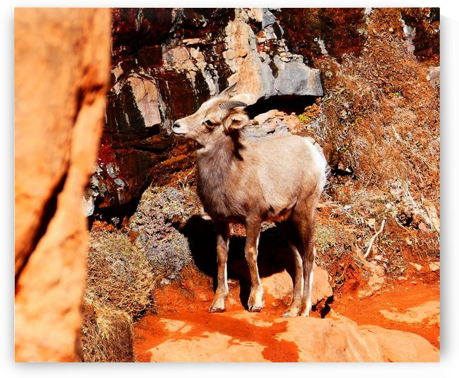 Young Big Horn by TJ Meagher