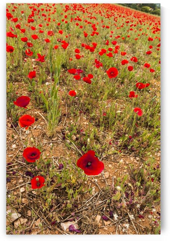 Poppy fields South of France by Downundershooter