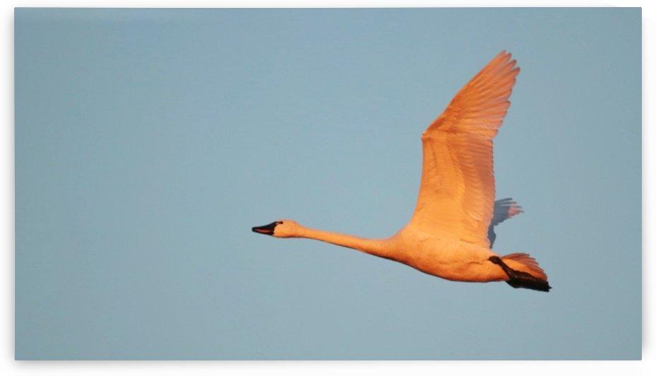 Tundra Swan by Jeff Vandewyngaerde