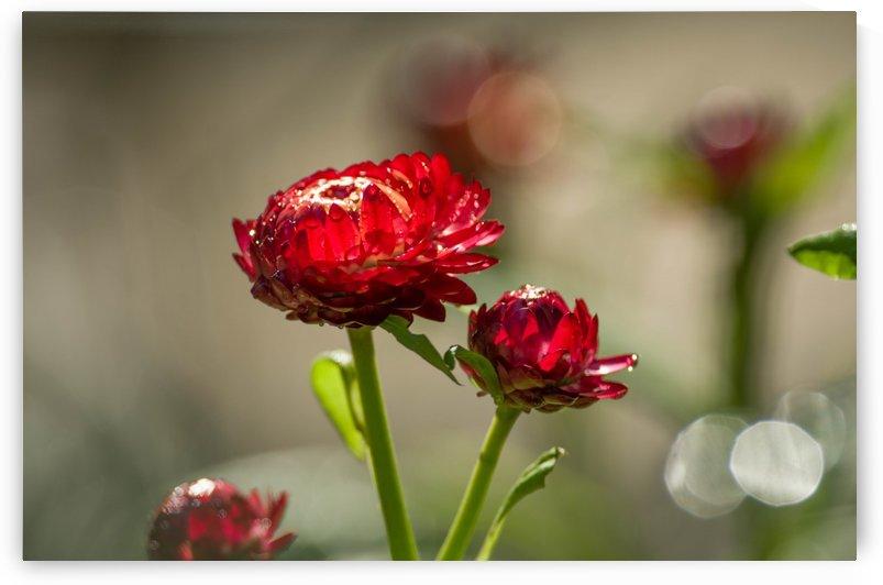 summer strawflowers by Sara Whelen