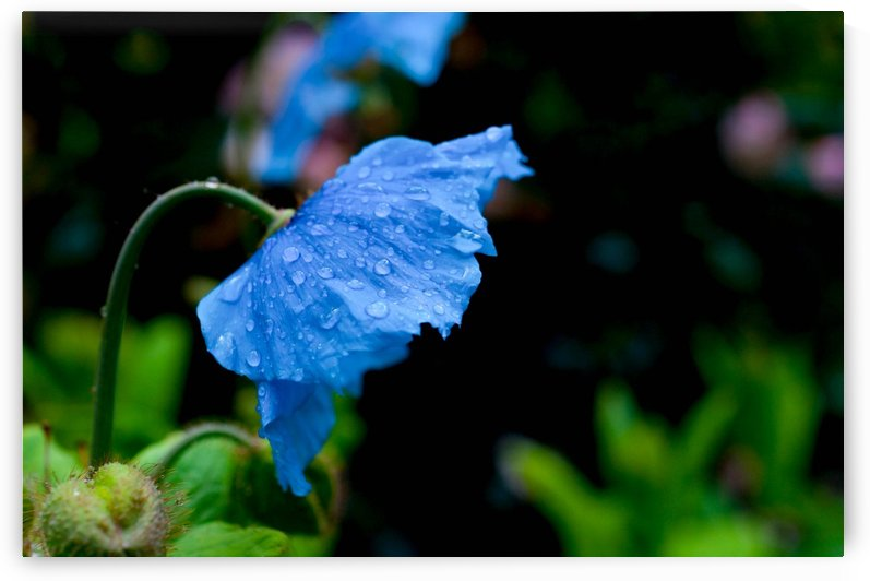 Himalayan Poppy by Sara Whelen
