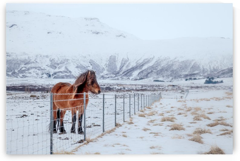 Iceland Horse in Snow by Dan Fleury