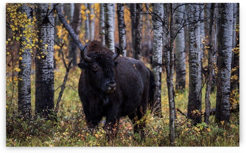 Bison by Matonabee Paulette Photography