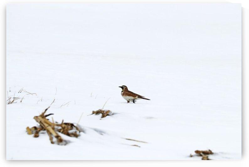 Horned Lark Out For A Stroll by Deb Oppermann