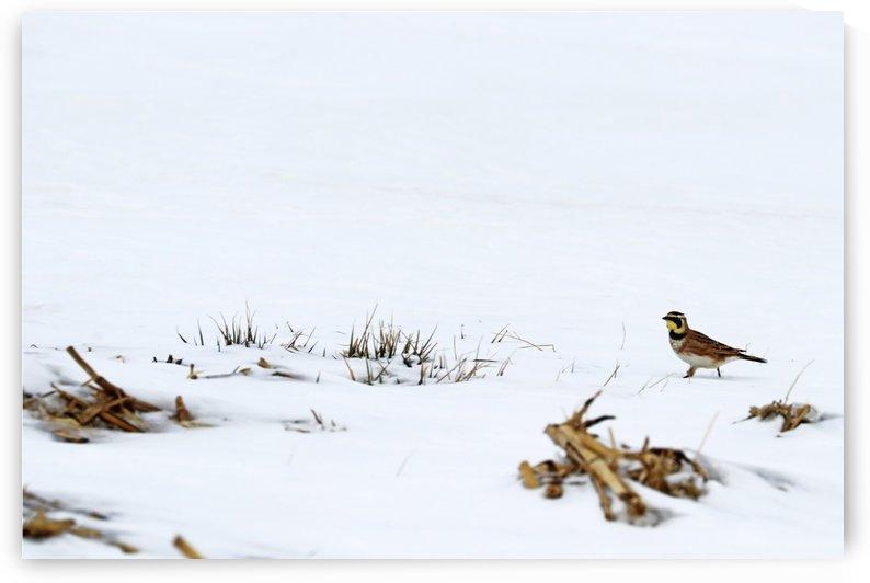 Horned Lark Walking To The Corn Stalks by Deb Oppermann