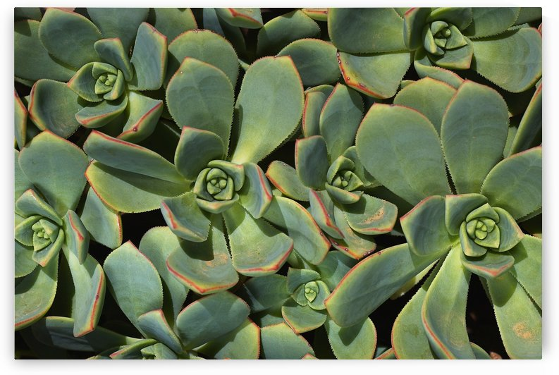Hens And Chicks Succulent Family by Joy Watson