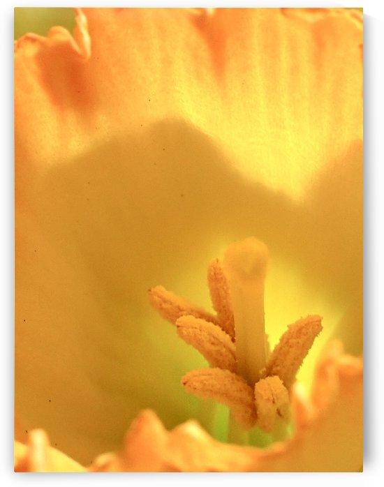 Daffodil  by Victor F Rodriguez Jr