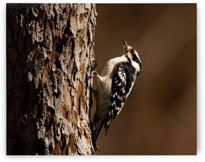Downy Woodpecker by Cameraman Klein
