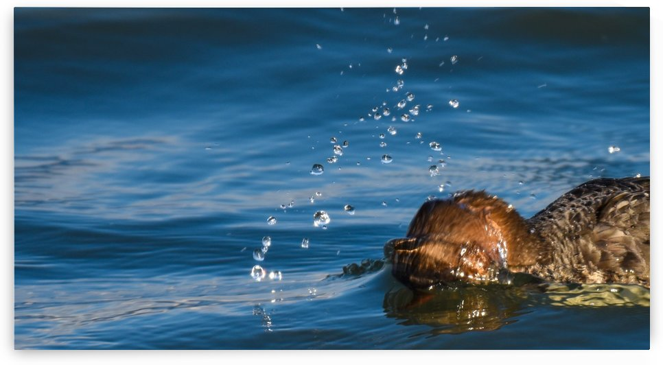 Diving Merganser by Cameraman Klein