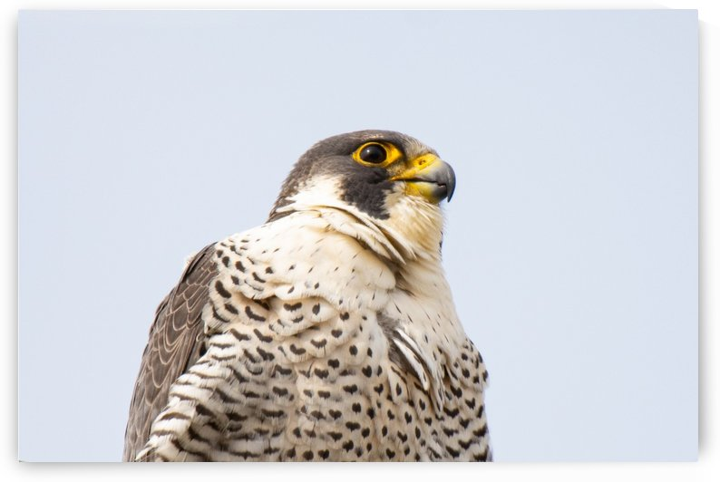 Falconis Prime by Cameraman Klein
