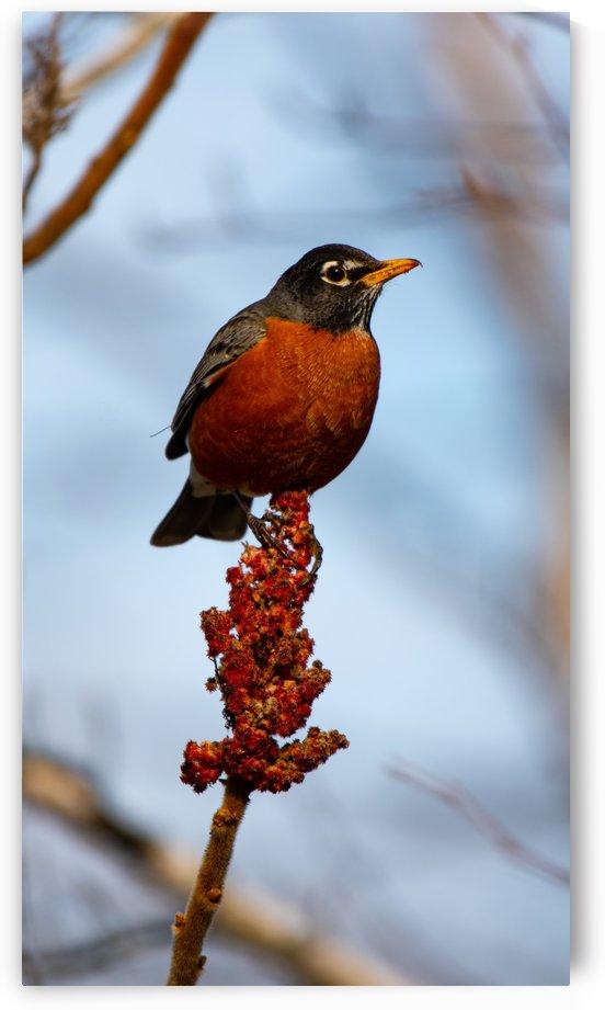 Robin Eating by Cameraman Klein