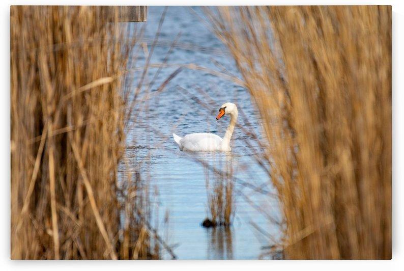 Mute Swan Centered in Reeds by Cameraman Klein