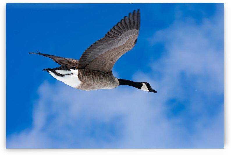 Goose Overhead by Cameraman Klein