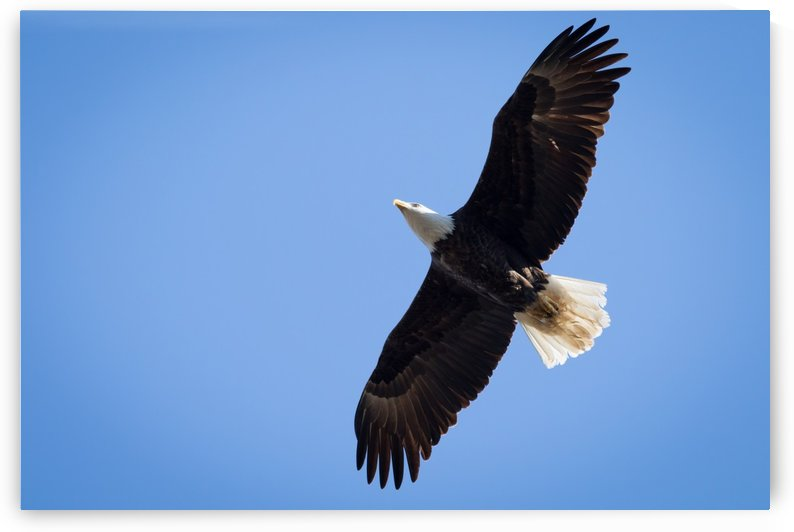 Bald Eagle at Silver Bluff Audubon 9578 by The Photourist - Sanjeev Singhal