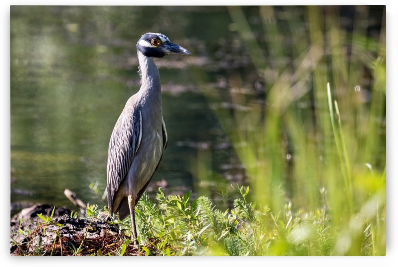 Yellow crowned Night Heron at Brick Pond Park 4690 by The Photourist - Sanjeev Singhal