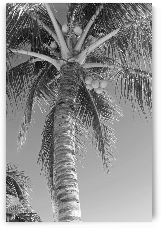 Palm Tree and Coconuts B&W by Gods Eye Candy