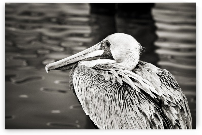 Pelican 1 in Black and White by C  McGowen