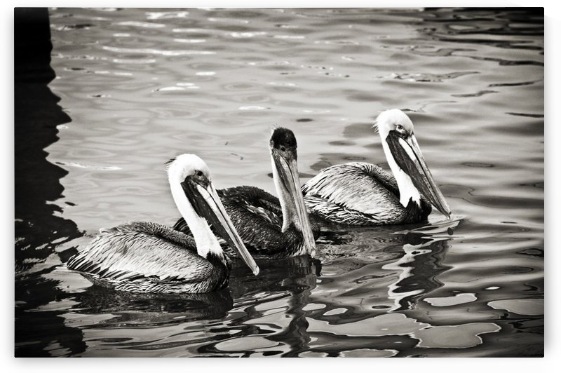 Pelicans in Black and White by C  McGowen