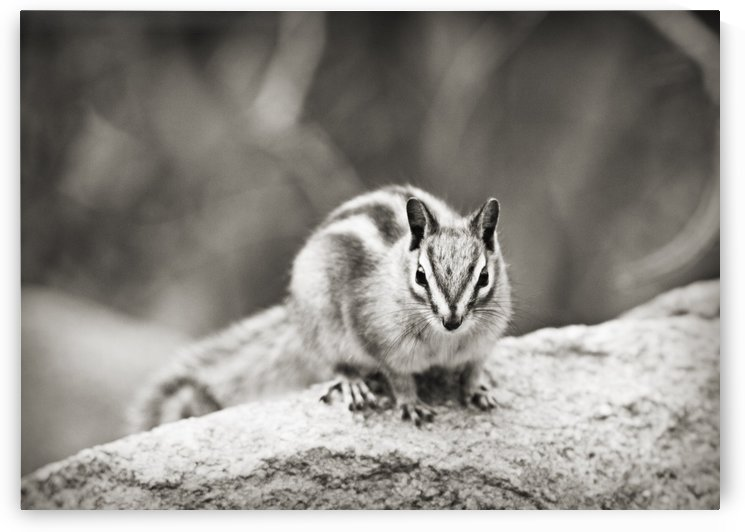 Chipmunk in Black and White by C  McGowen