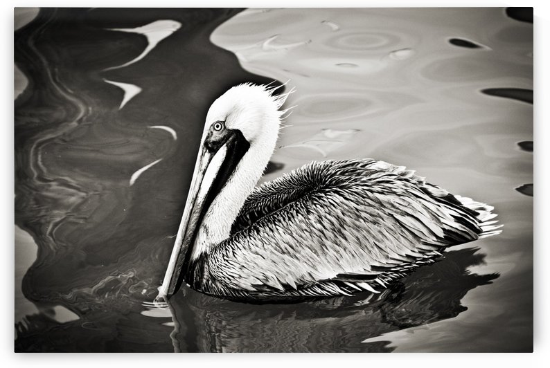 Pelican 2 in Black and White by C  McGowen