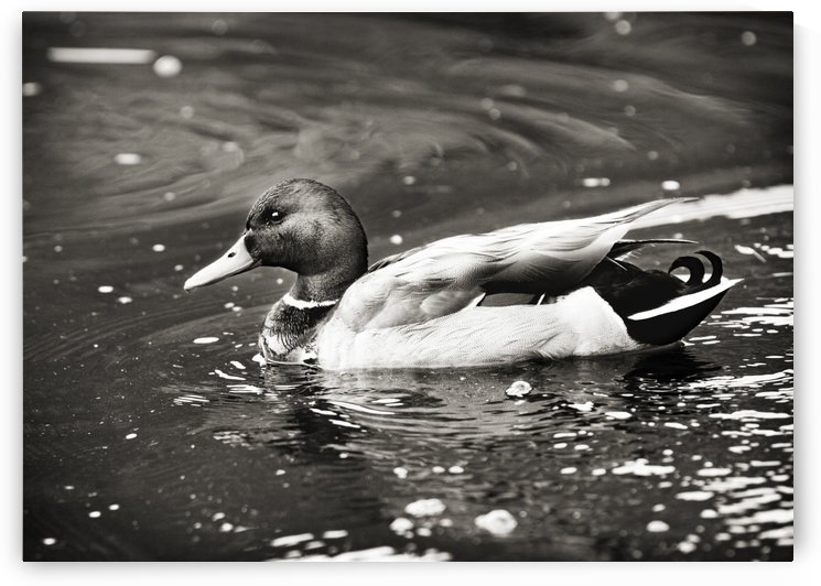 Duck in Black and White by C  McGowen